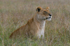 Lioness. Being watchful, looking into distance, on open plains of masai mara serengeti ecosystem, east africa Royalty Free Stock Photos