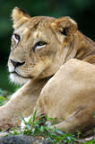 Lioness. An African Lioness sitting and relaxing Stock Image