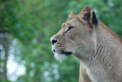 A lioness 4 Royalty Free Stock Images