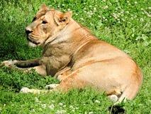 lioness Arkivbild