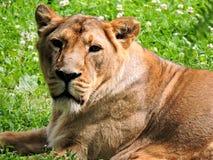 lioness Royaltyfri Fotografi