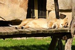 lioness Arkivfoto