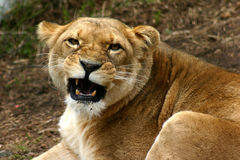 Lioness. Liness the true king Royalty Free Stock Photography