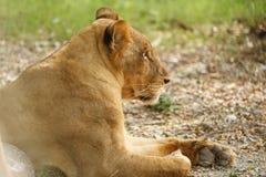 lioness fotografia stock libera da diritti
