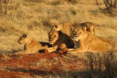 lioness Immagini Stock