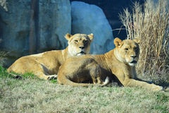 lioness Royaltyfri Foto
