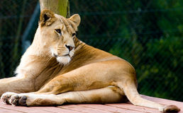 Free Lioness Royalty Free Stock Photo - 5978635