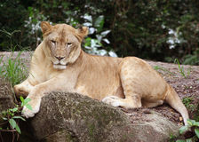 Lioness. At rest Royalty Free Stock Images