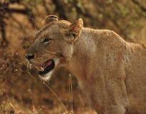 lioness Fotografia Stock