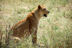 Lioness. In the Serengeti National Park, Tanzania Stock Image