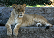 Lioness. Watching the crowd Royalty Free Stock Image