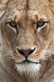 Lioness. Danger animal - portrait of lioness Stock Images
