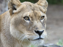 Lioness. Face of a lioness, eyes are focused and intense as she spots prey in distance stock photo