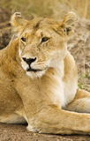 Lioness. Relaxing lioness from Masai Mara,Kenya Royalty Free Stock Photo