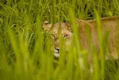 Lioness. The picture shows a lioness looking through blades of grass in Mikumi national park, Tanzania Royalty Free Stock Images