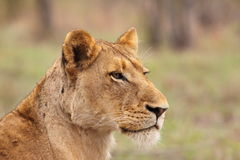 Lioness. Looking over the savanna royalty free stock image