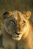 Lioness. Looking into the lense royalty free stock photography