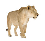 Lioness (8 years) - Panthera leo Royalty Free Stock Image