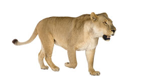 Lioness (8 years) - Panthera leo Royalty Free Stock Photo
