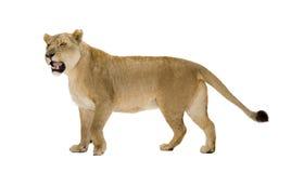 Free Lioness (8 Years) - Panthera Leo Royalty Free Stock Photos - 7135448