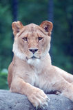 Lioness. A female lion resting on a rock at a zoo Stock Images