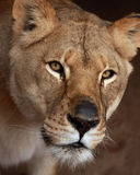 Lioness. Head shot of female africian Lion Royalty Free Stock Photo
