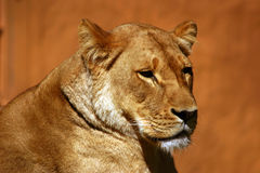 Lioness. Headshot of lioness Royalty Free Stock Photography