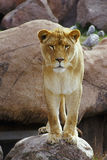 Lioness. Watchful lioness stands on rock royalty free stock image