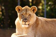 Lioness Fotografie Stock Libere da Diritti