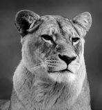 Lioness. A beautiful lioness watches all that happens Royalty Free Stock Photos