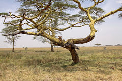 Lioness In An Acacia Tree. Lioness using an acacia tree as a vantage point in the Serengeti national park, Tanzania Royalty Free Stock Images