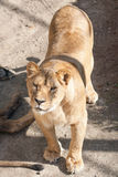 Lioness Stock Photography