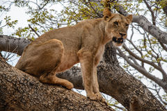 Lioness africa Stock Photo