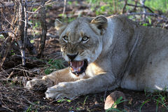 Lioness African aggression. Stock Photos
