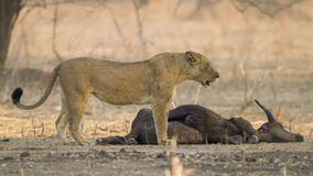 Lioness by African Buffalo kill. Lioness (Panthera leo) by African Buffalo (Syncerus caffer) kill Stock Images