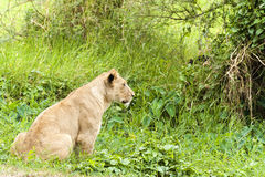Lioness. African lioness hunting , Eastern  Africa Royalty Free Stock Photo