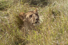 Lioness. African lioness resting in grass , Eastern  Africa Royalty Free Stock Photos