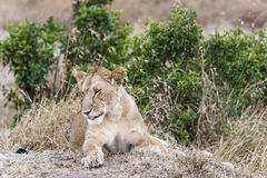 Lioness. African lioness resting in grass , Masai Mara, Kenya Stock Image