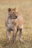 Lioness in the african savanna Stock Image