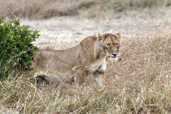 Lioness. African lioness walk out of bushes, Masai Mara National Reserve, Kenya Stock Photography