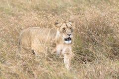 Lioness. African lioness walk through tall grass , Kenya Stock Images