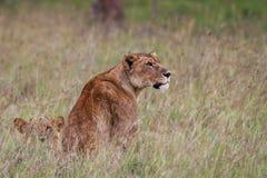 Lioness africano Fotografie Stock