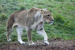 Lioness africano Immagine Stock Libera da Diritti