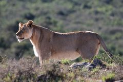 Lioness Alert. Female lion or lioness stalking in lake afrternoon sun Stock Image