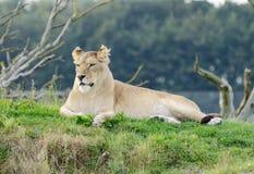 Lioness Alert Stock Photo