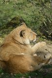 Lioness alone at the zoo lying back view sittingbeautiful. Attitude of tranquility and quiet strength for this lioness. the color of light brown stands out well Stock Photos