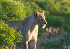 Lioness ambush Royalty Free Stock Photos