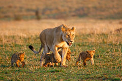 Lioness And Four Cubs Stock Images