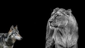 Lioness And Wolf Stock Photos