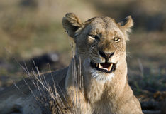 The lioness is angry. Africa.Kenya.The lioness is angry. Has woken up with bad mood Royalty Free Stock Photo